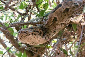 African rock python, Python natalensis, Makuleke, Kruger National Park, Limpopo