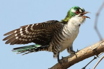 Diederik cuckoo, Chrysococcyx caprius, at Mapungubwe National Park, Limpopo