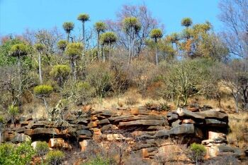 Sekhukhuni euphorbias on a clifftop at Voortrekkerbad, Limpopo