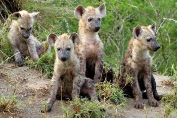 Spotted hyena cubs, Limpopo