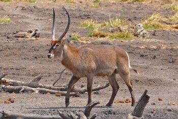Waterbuck (Kobus ellipsiprymnus), Maloutswa Pan Hide, Mapungubwe National Park, Limpopo