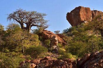 Baobab trees, Mapungubwe National Park, Limpopo