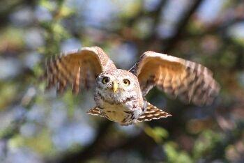 Pearl-spotted Owlet, Glaucidium perlatum, at Mapungubwe National Park, Limpopo