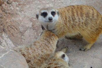 Meerkat, Suricata suricatta, Limpopo