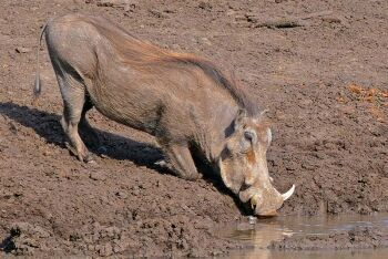 Common warthog, Limpopo