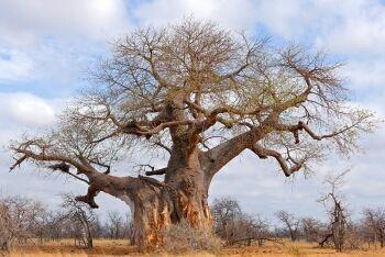 Majestic Baobab (Adansonia digitata), Mapungubwe National Park, Limpopo